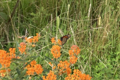 Butterfly Weed, with Monarch Butterfly